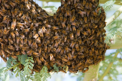 Bees in Tree Limbs