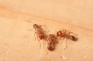 Houston Fire Ants - Protex Pest Control