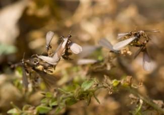 Swarming Termites Houston TX