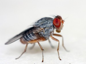 Friut Flies love overripe fruit.
