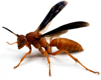 Red or Mahogony Wasp Houston - Protex Pest Control