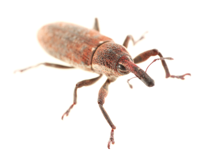 Weevil Pest Control - Protex Pest Control Houston