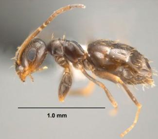Rover Ants Houston - Protex Pest Control