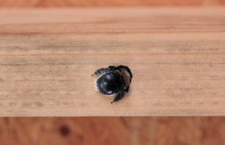 Carpenter Bee Drilling Hole in Wood.